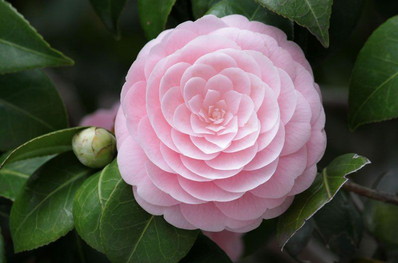 Picture Of The Day Pink Perfection Flowers Pretty Flowers Camellia Flower