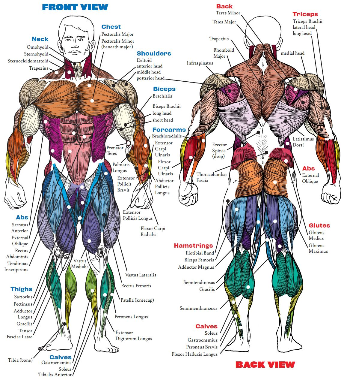 When This Muscle Contracts Body Parts Will Move Description From