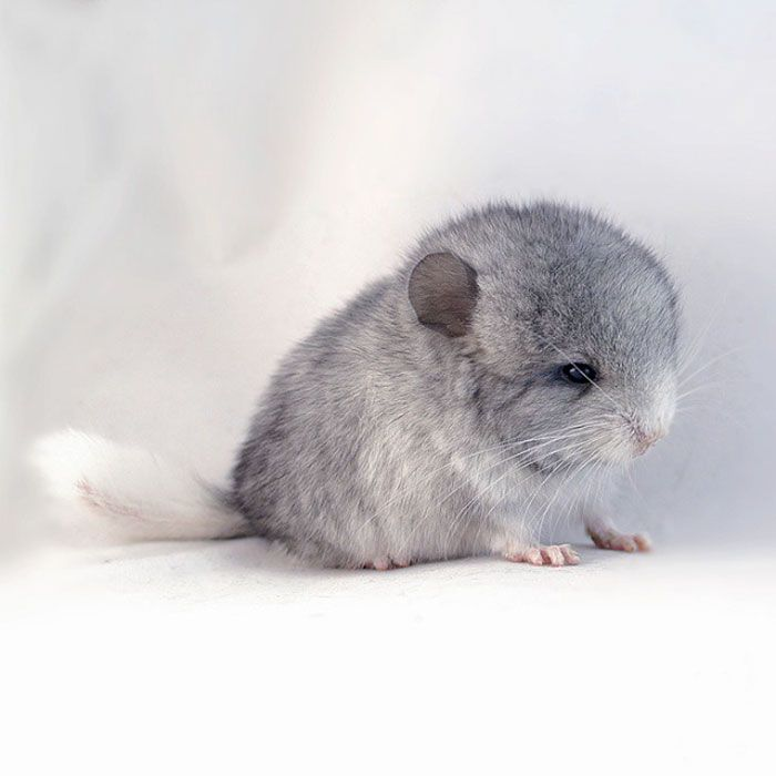 186 Baby Chinchillas That Will Melt Your Heart Cute Animals