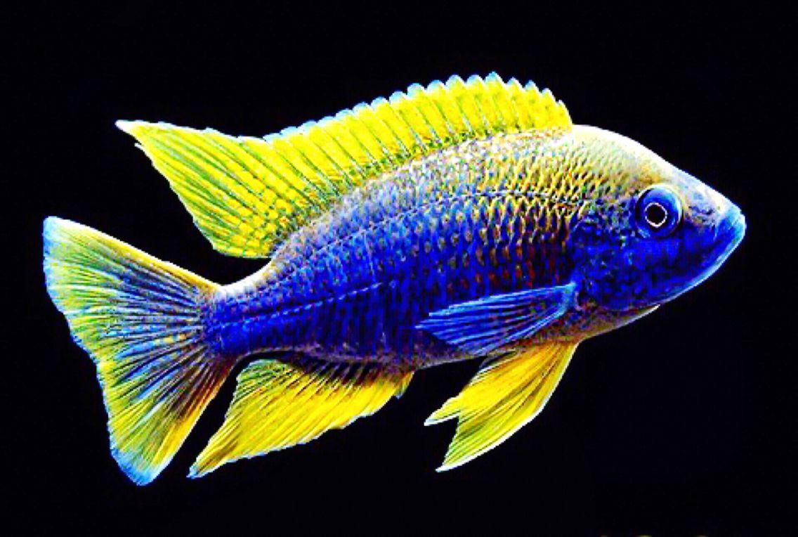 Lemon Jake Cichlid Scientific Name Aulonocara Lake Malawi African Cichlid Aquarium Aquarium Fish African Cichlids