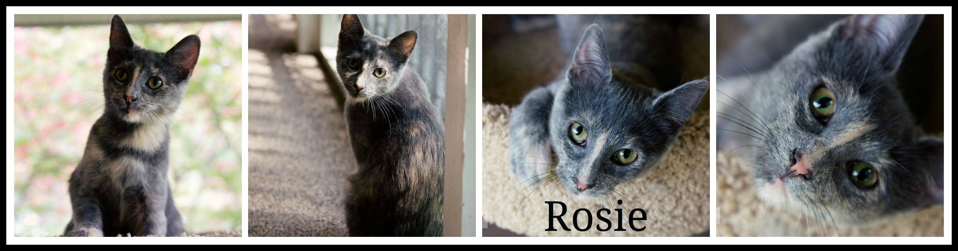 Adopted 10 14 4 Rosie Is A 4 Month Old Kitten That Really Likes People Cats And Dogs She Has A Lot Of Cuteness And Really W 4 Month Old Kitten Pets Kittens