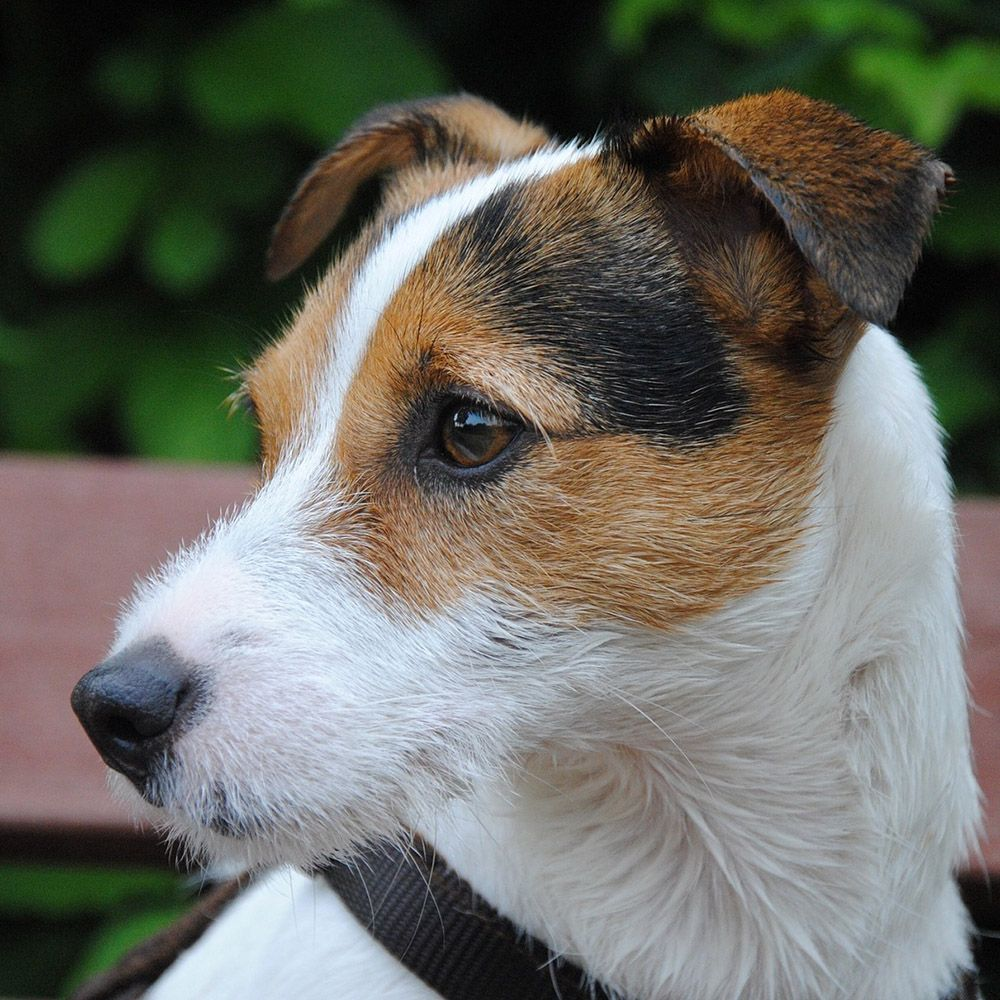 Parson Russell Terrier Pedigree Database Parson russell