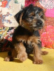 Nora Is An Adoptable Norfolk Terrier Dog In Indianapolis In Nora