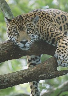 Adopt A Jaguar Yaguarete