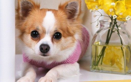 The Canine Roommate Top 10 Best Dog Breeds For Apartment Living Small Dog Photos Best Dog Breeds Cute Chihuahua