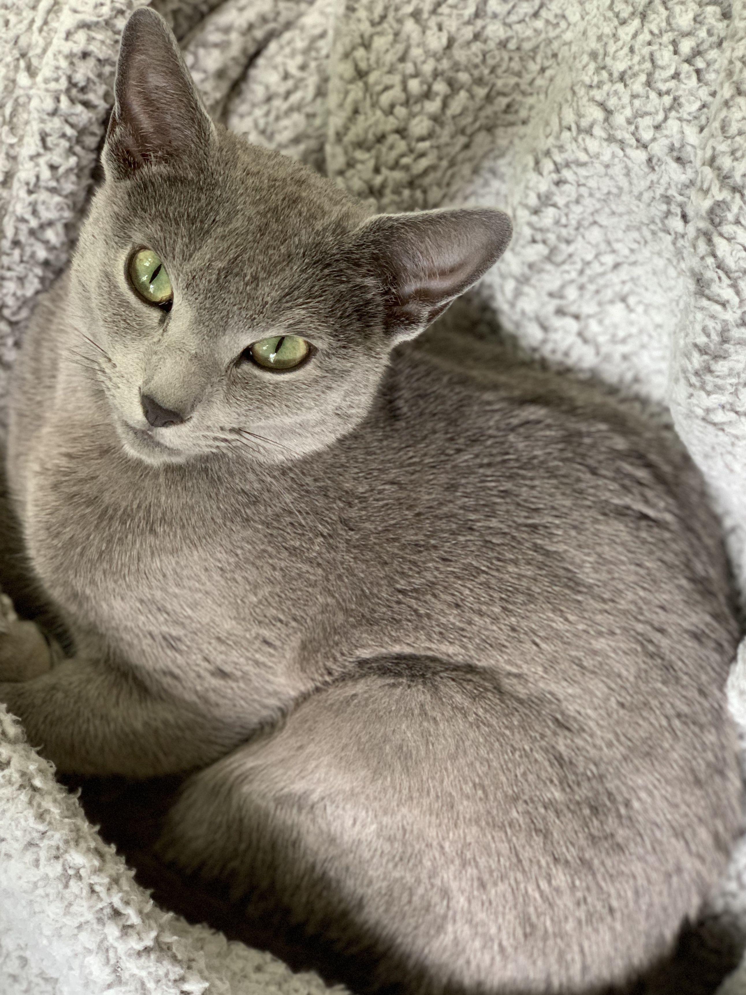 Pin By Andrea Ray On Russian Blue In 2020 Russian Blue Russian Blue Cat Cats