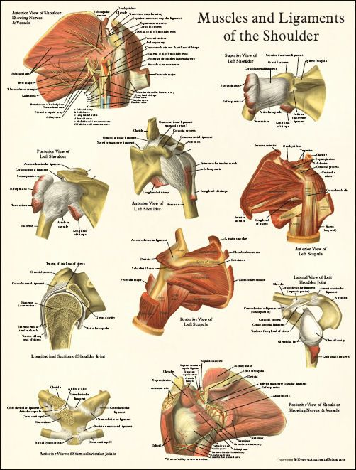 Shoulder Anatomy Anatomy References For Artists