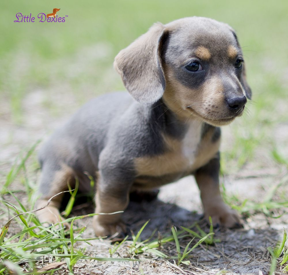 Blue And Tan Miniature Dachshund Puppy Little Doxies Dapple