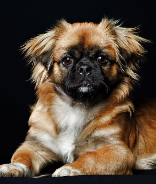Pekingese Dog Shedding