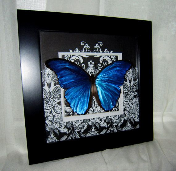 Real Blue Morpho Butterfly Framed Morpho Didius 10x10 Handcrafted Scrolled  Matting