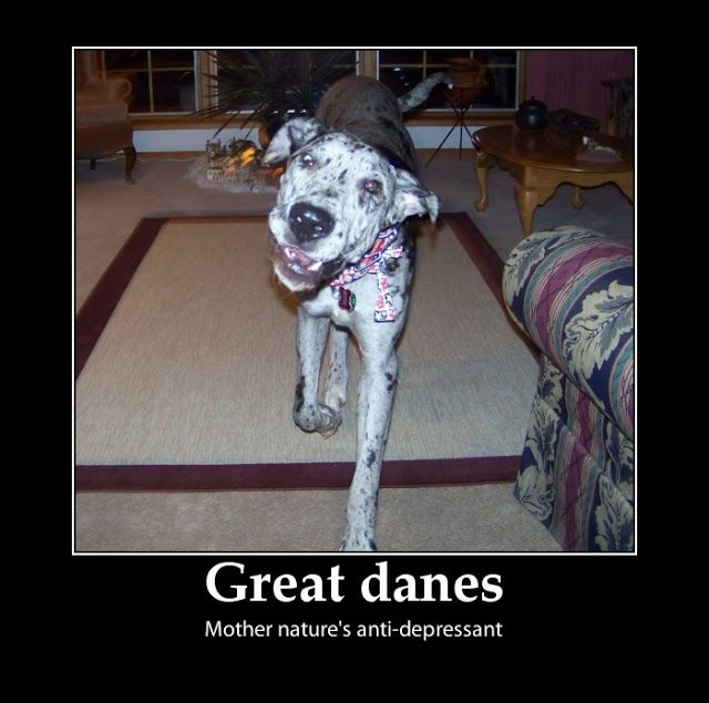 Goliath Are Great Danes A Smart Dog Dogs Animals Mother Nature