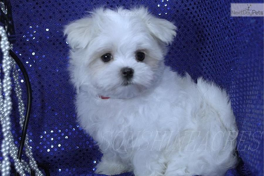 Sold Beauty Female2baby Doll Face Teacup Puppies Maltese Maltese Puppy Maltese
