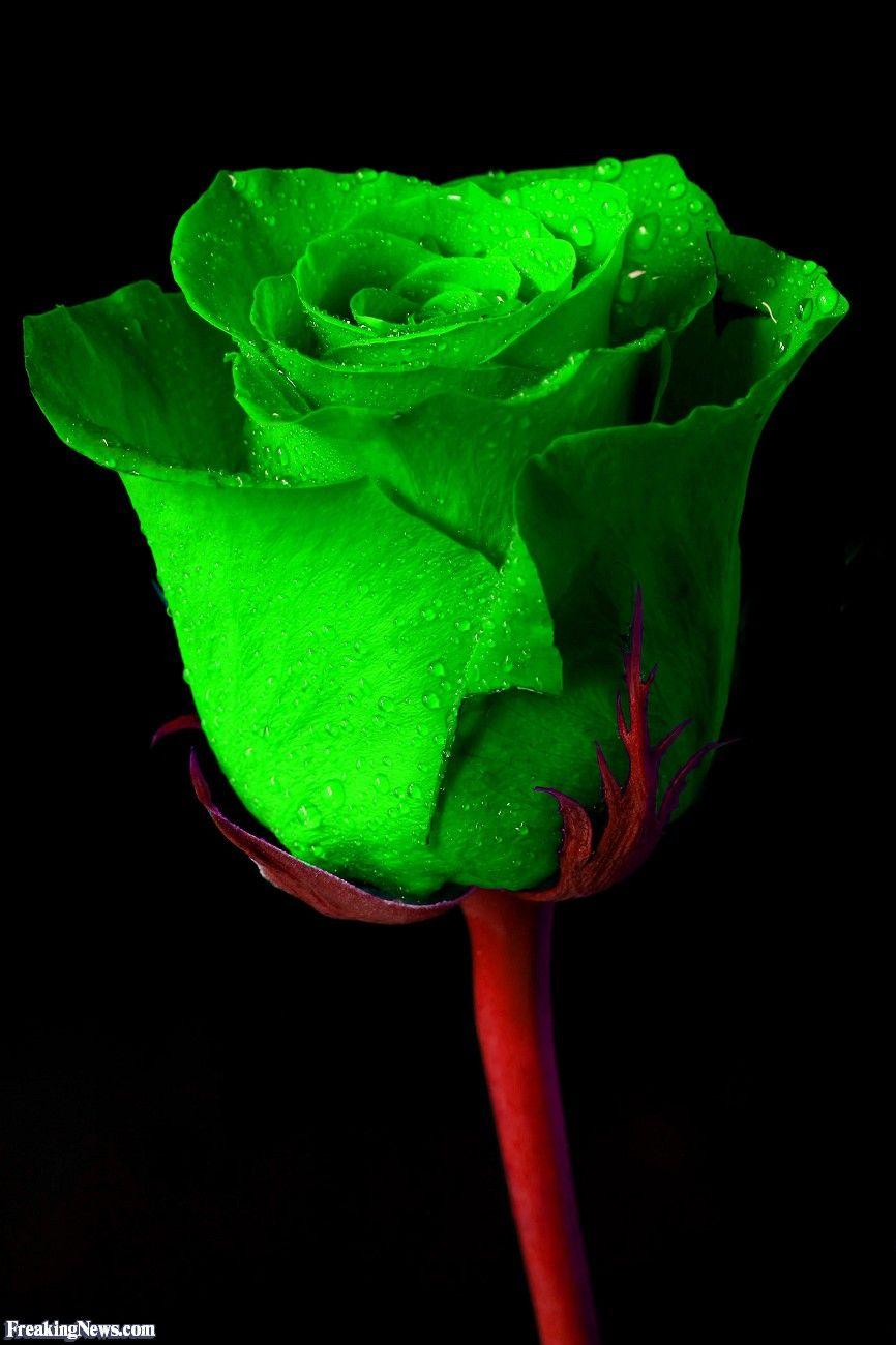 Green Irish Rose | Green rose, Irish rose, Beautiful rose flowers