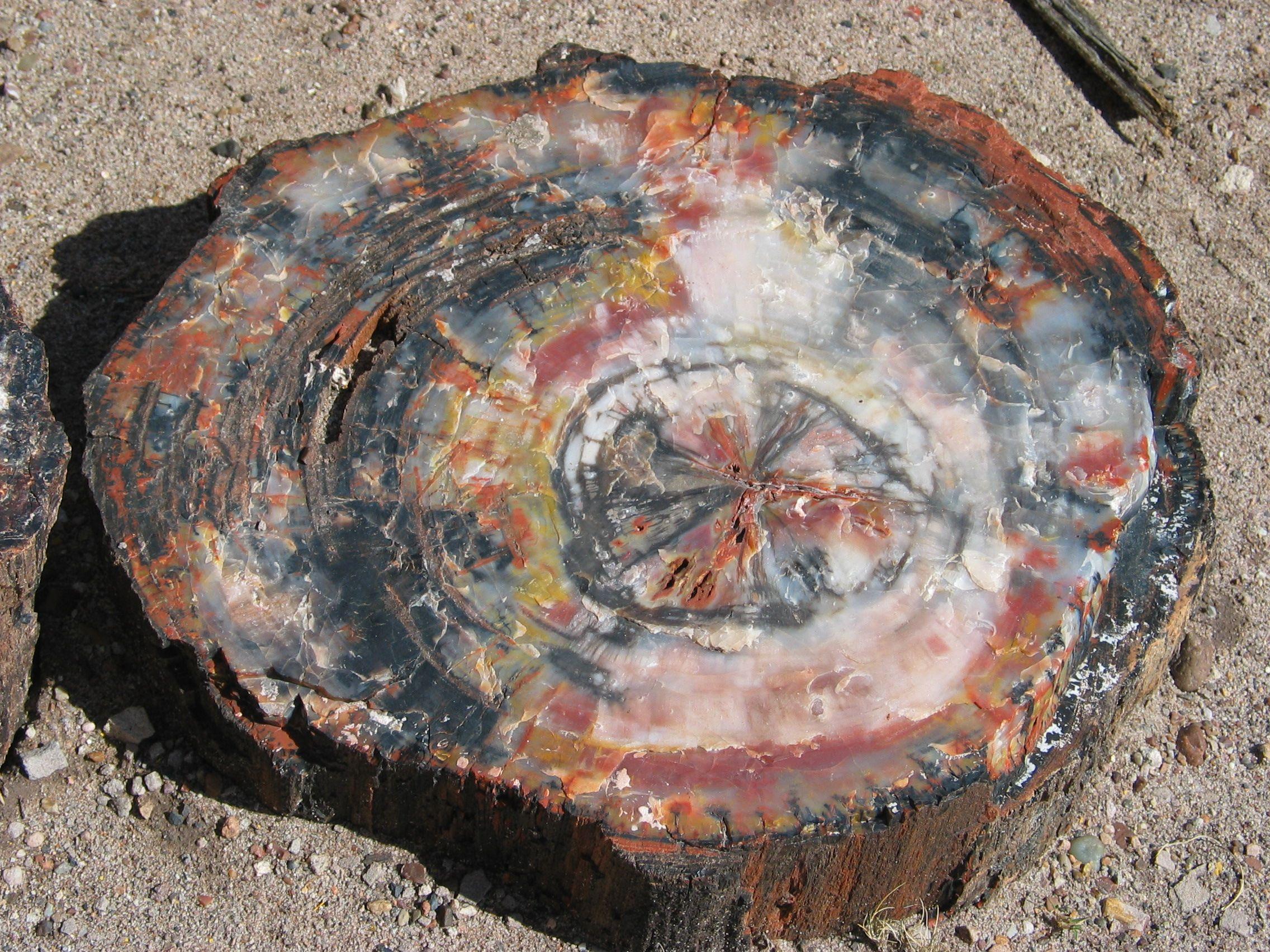 Petrified Wood Avec Images Bois Fossile Bois Petrifie Fossiles