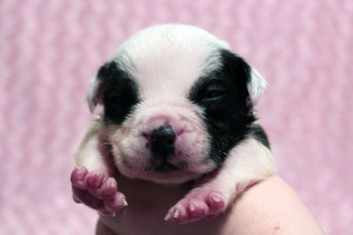 American Bully Puppy For Sale In Littlestown Pa Adn 48933 On Puppyfinder Com Gender Female Age 2 Weeks Old American Bully Puppies For Sale Puppies