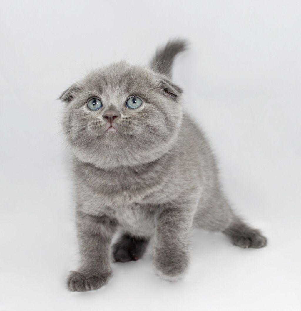 Scottish Folds And British Shorthair Kittens For Sale Funny Animal Photos British Shorthair Kittens Cute Animals