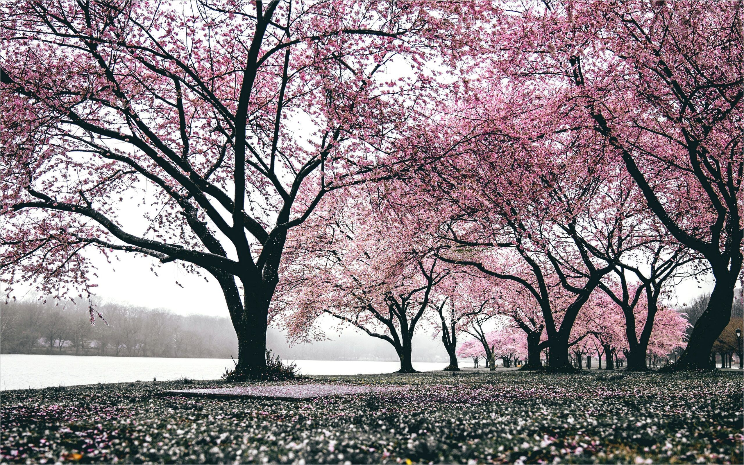 Cherry Blossom Tree Volcano Wallpaper 4k In 2020 Volcano Wallpaper Cherry Blossom Wallpaper Blossom Trees