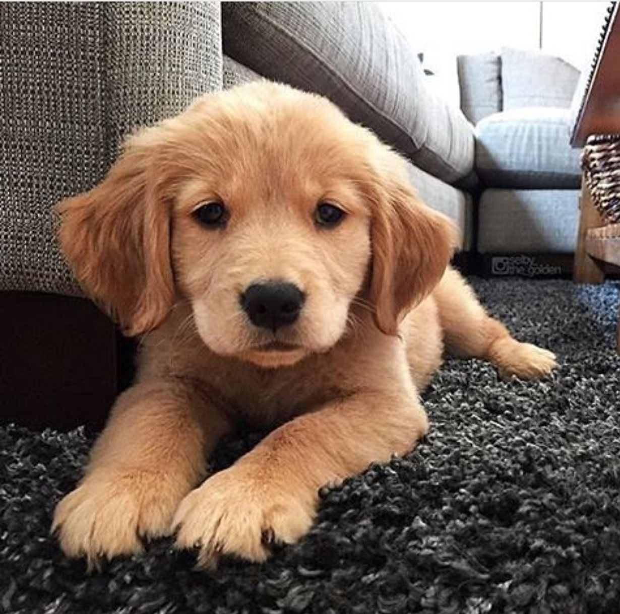 usBild von Beverlywaite Retriever welpen, Hunde