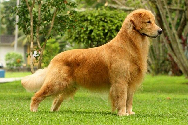 Golden Retriver Golden Retriever Retriever Dogs Golden Retriever