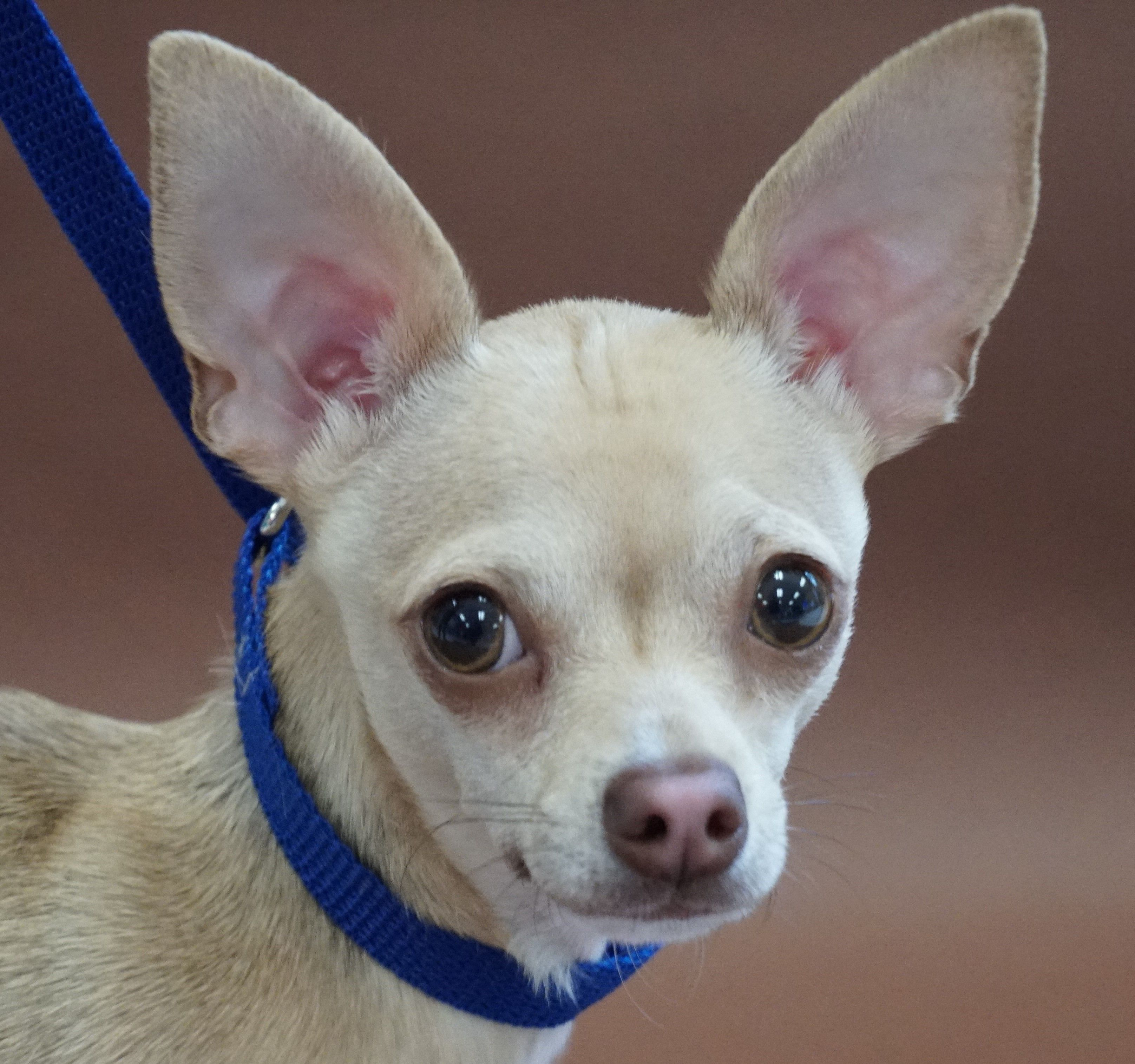 Adopt Sam Ps On Chihuahua Rescue Pet Adoption Adoption