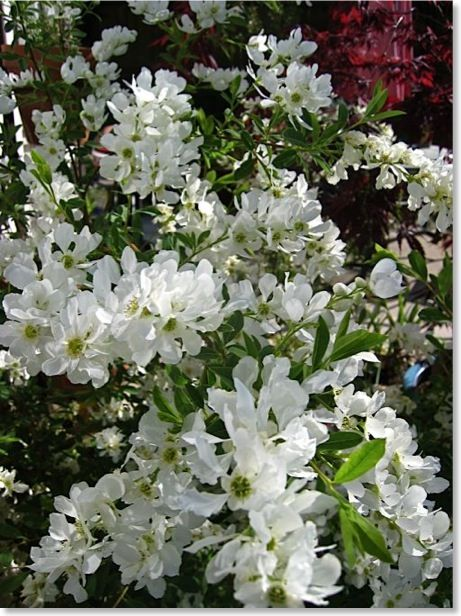 Pearl Bush Spring Flowering Bush For The Yard Flowering Bushes