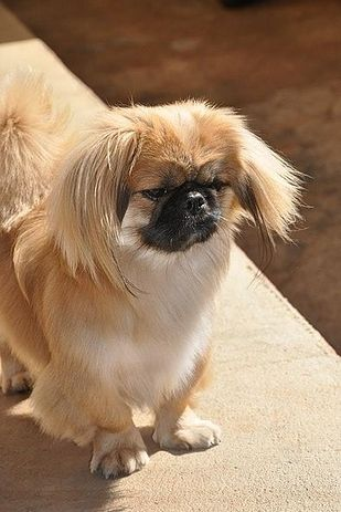 22 Awesome Poodle Mixes That You Totally Need To Know About Pekingese Poodle Mix Pekingese Dogs