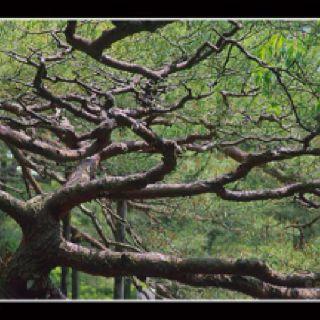 Tree in Japan