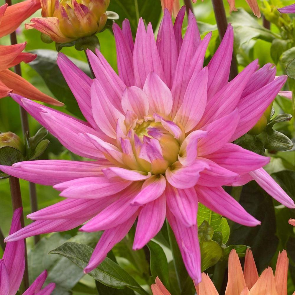 Dahlia Cactus Karma Pink Corona Dahlia Corona And Cut Flowers