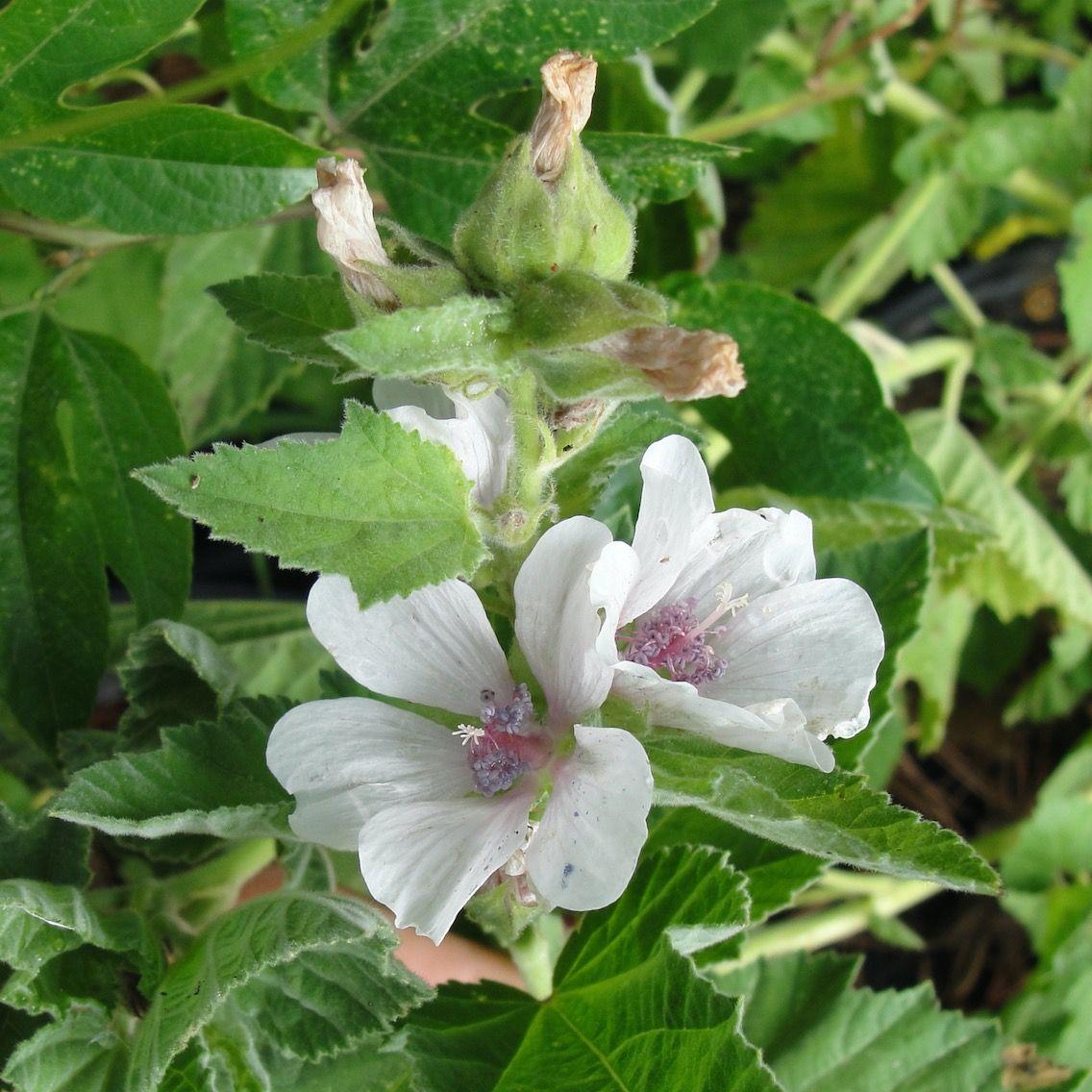 Belles fleurs blanches racines remplies de mucilages for Jardin de fleurs blanches