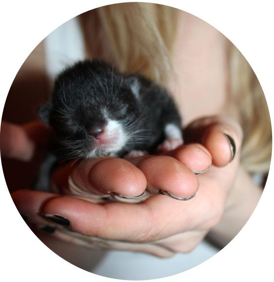 Itty Bitty Bundle Of Cute Tuxedo Kitten Newborn Kittens Puppies And Kitties