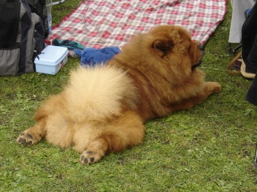 12 They Got Cute Butts Chow Chow Dogs Cute Fluffy Dogs Chow Chow