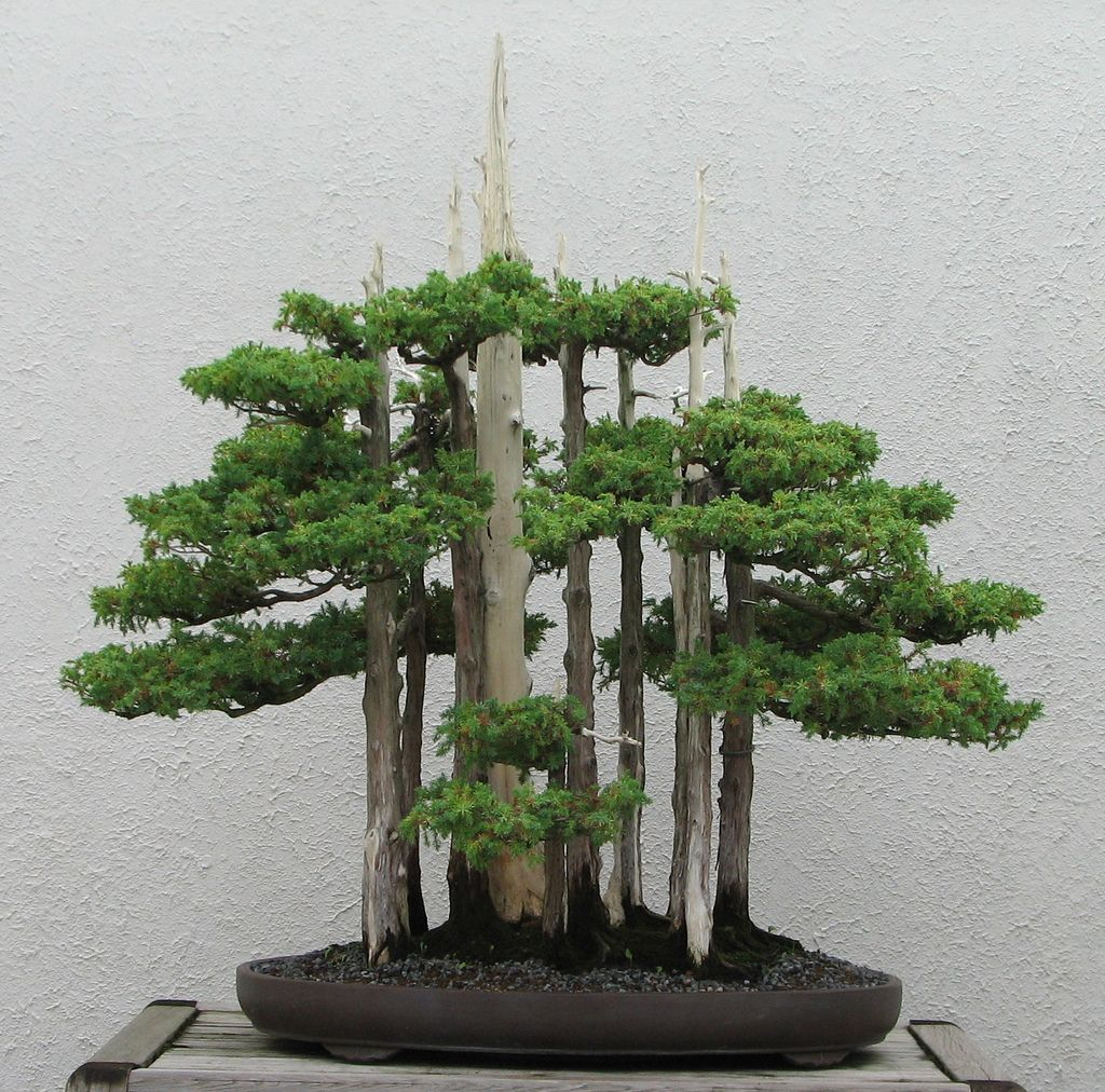 1000 Images About Bonsai Art On Pinterest Maple Bonsai