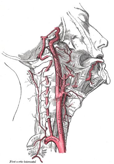 Arteria Palatina Ascendente Wikipedia La Enciclopedia Libre Arteria Vertebral Cabeza Y Cuello Anatomia Cabeza Y Cuello