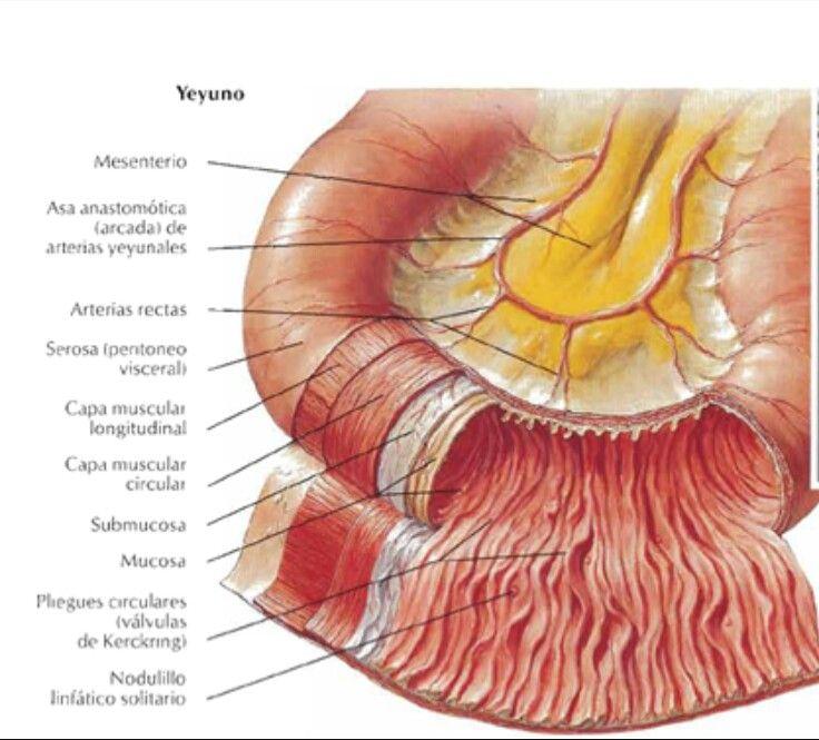 Yeyuno Porción Medial Del Intestino Delgado Que Protruye Después Del Duodeno Intestinos Intestino Grueso Anatomía