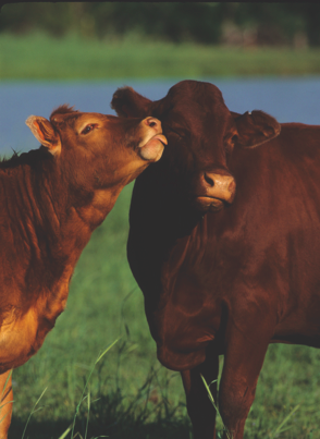 Kissing Cows. Nice couple. #chooselocal