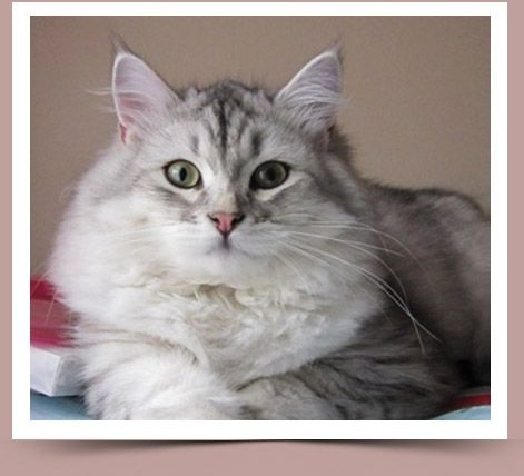 Musrafy Cats Uk Breeder Siberian Cat For Allergy Suffers Siberian Cat Cats Cat Uk