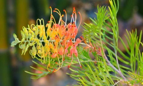 Grevillea 'Peaches and Cream', 'Peaches and Cream' Grevillea, Mediterranean shrubs, Evergreen Shrubs, Yellow flowers, Orange flowers, drought tolerant flowers