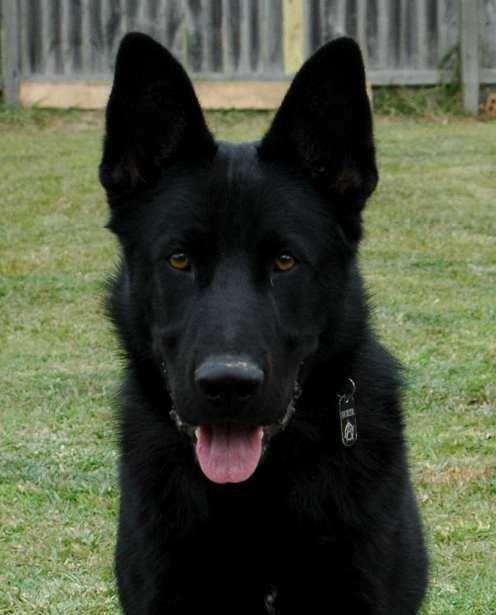 Von Forell Testimonial From Neal Harris About His German Shepherd Black German Shepherd Dog German Shepherd Dogs Labrador Retriever Dog