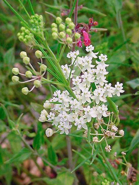 Asclepias Verticillata (Horsetail Milkweed, Milkweed) #einheimischepflanzen