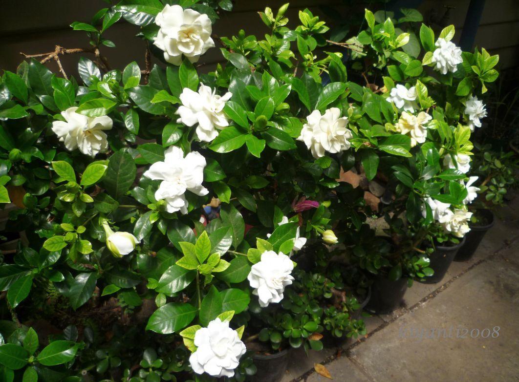 Gardenia Bush Google Search Hedging Plants Side Garden