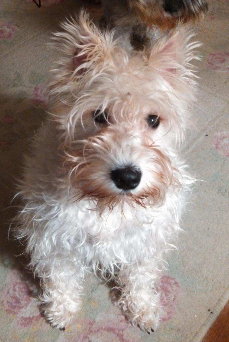Adopt Blanca UPDATE on Schnauzer dogs, Mini schnauzer