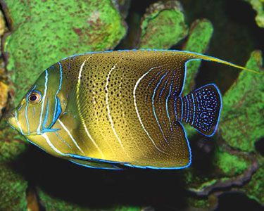 Koran Angelfish Exotics Fish Loricula Flame Pygmy Angel Black Sailfin Blenny Is Harlequin Tusk Catshark Convict Tang Ecsenius Stigmatura O Ikan Eksotis