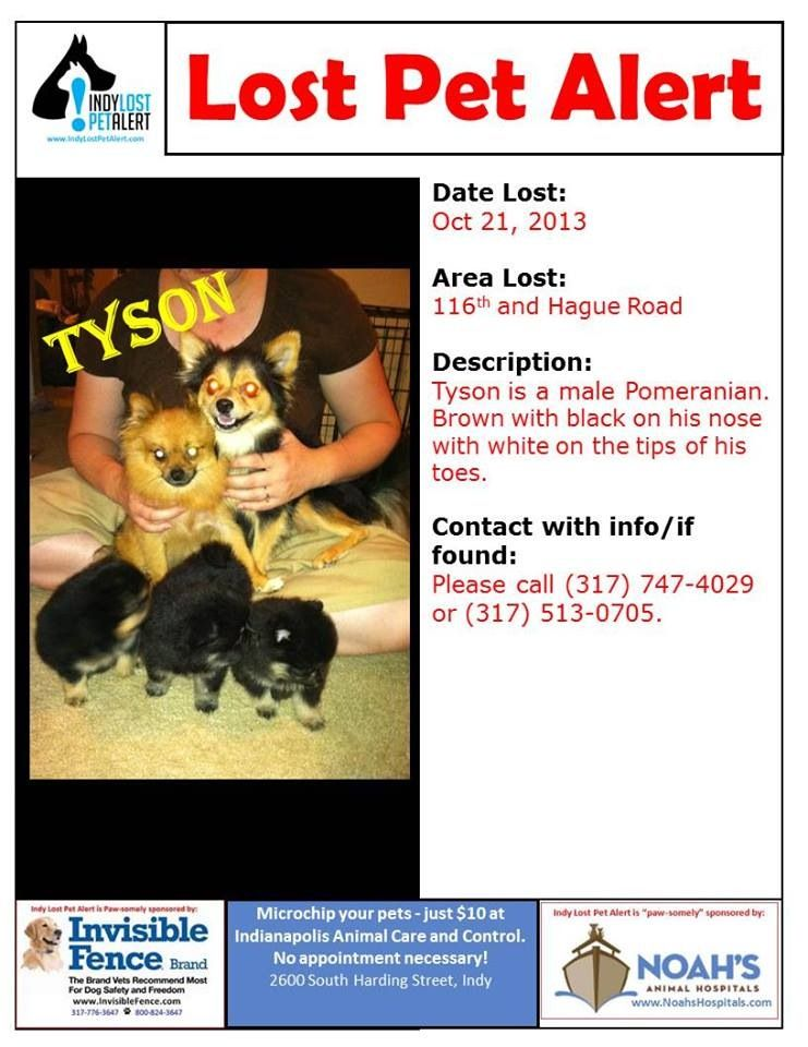 Indianapolis In Fishers 116th Hague Lostdog 10 21 13 Pomeranian Male Brown Black Nose White Feet 317 747 4029 Losing A Dog Losing A Pet Find Pets