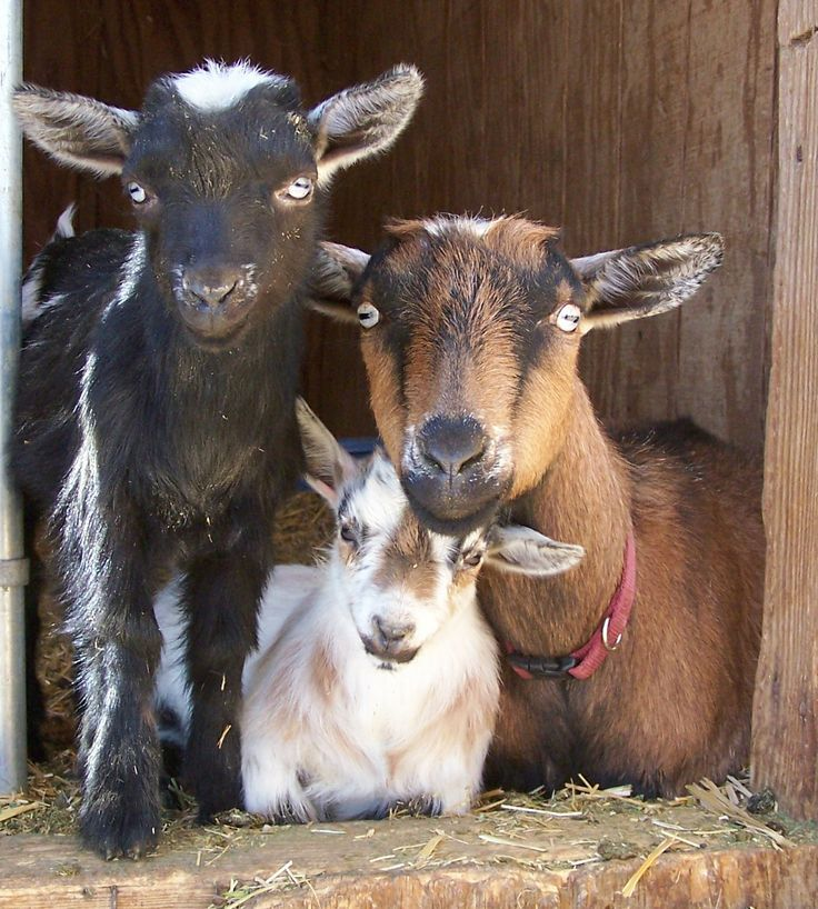 Image result for goats don't shave facebook Irish