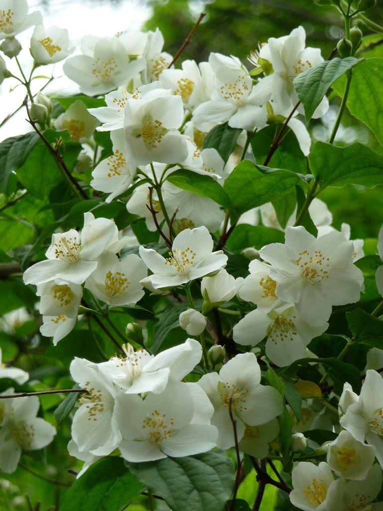 Mai, le mois des seringats | florea | Arbustes à fleurs ...