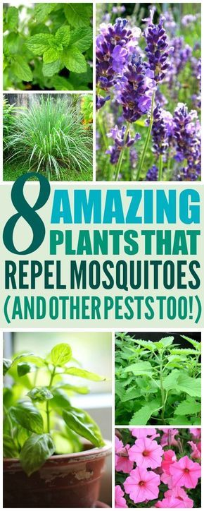 8 Amazing Plants That'll Repel Mosquitoes (And Other Pests!) -   16 plants Green projects