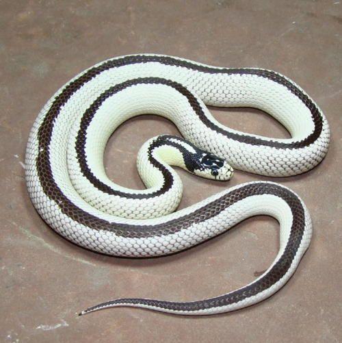Reverse California King Snake Sneaky Sssnakes FrogsLizards - California king snake morphs
