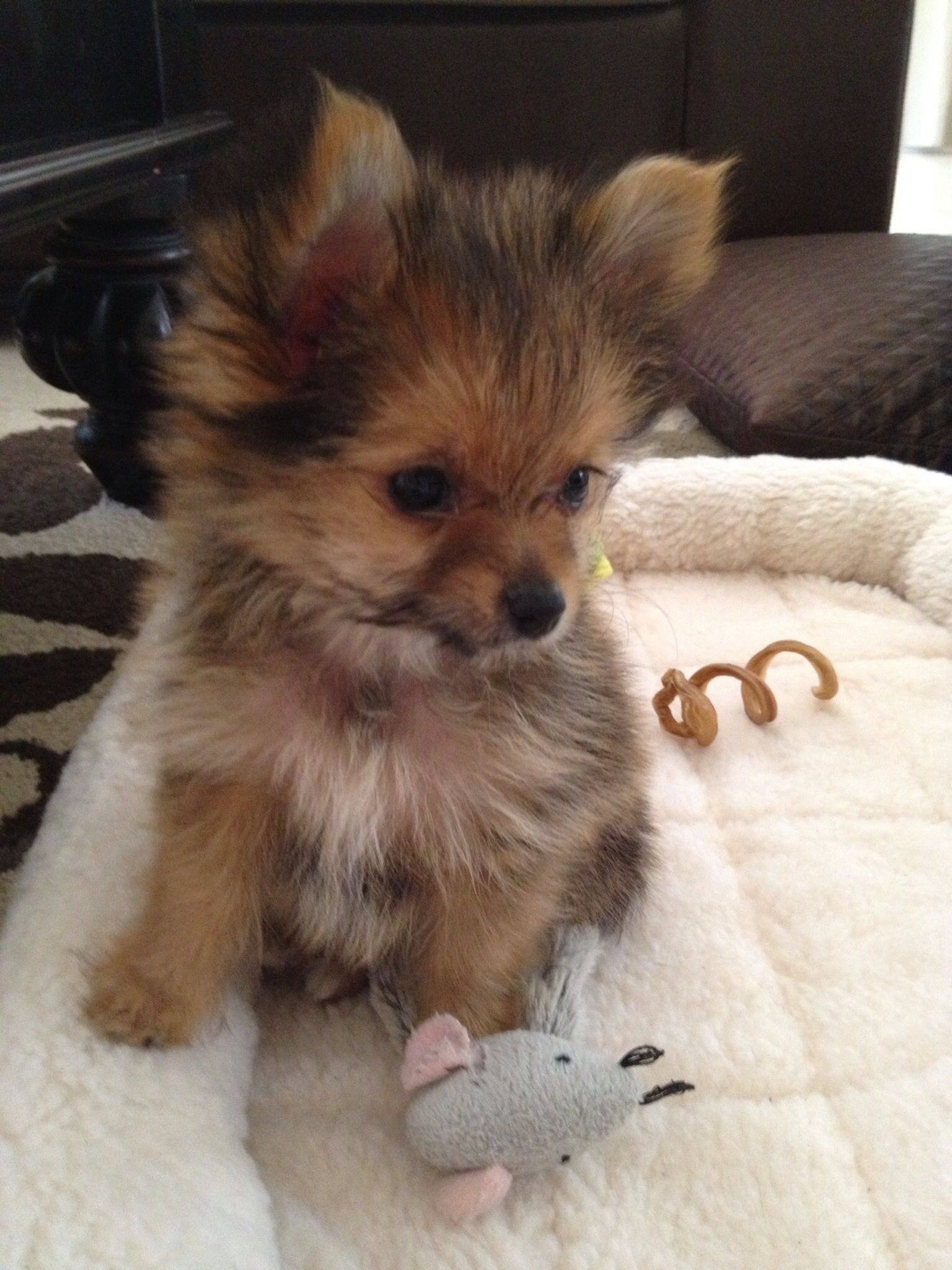Pom Yorkie Porkie Super Cute Animals Yorkie Pomeranian Mix Cute Animals