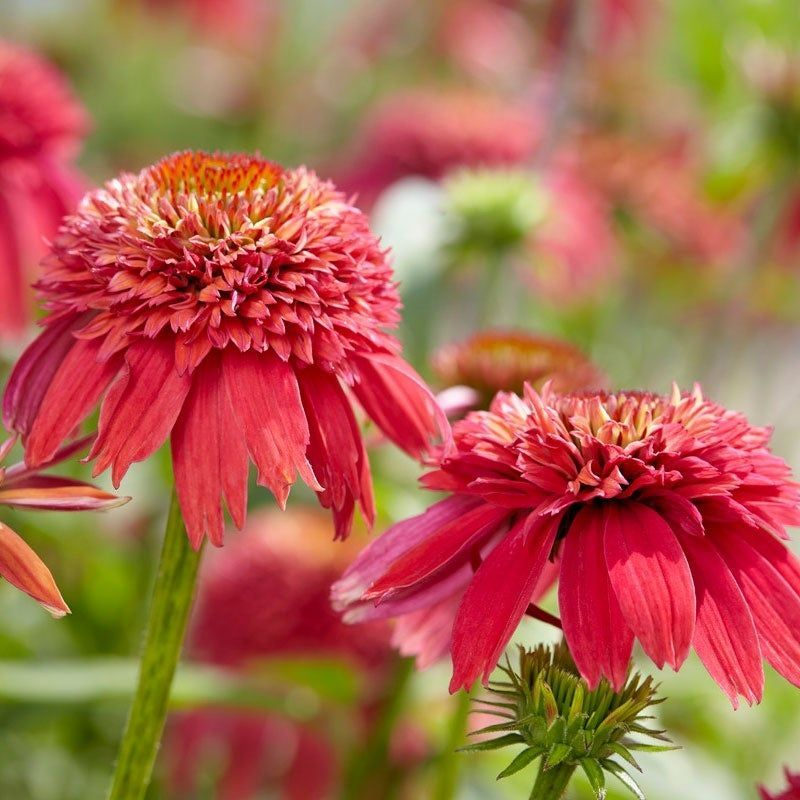 Double Scoop Orangeberry Coneflower Adds Fiery Non Fading Color To Any Sunny Garden Brilliant Red Oran With Images American Meadows Fall Plants Deer Resistant Perennials