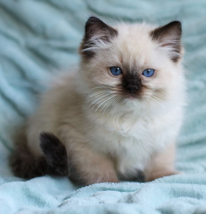 pictures of ragdoll kittens At Ravera Ragdolls our
